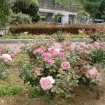 ベルニー公園の薔薇です。